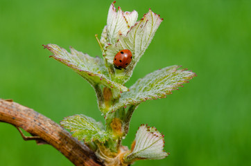Fototapeta Ladybug on a new shoot of a grapevine. New life in spring. Springtime in vineyard. obraz