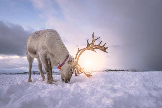 Reindeer digging in snow in search of food