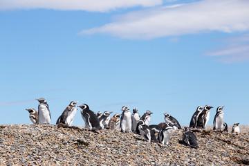Magellanic penguins, Punta Ninfas, Argentina