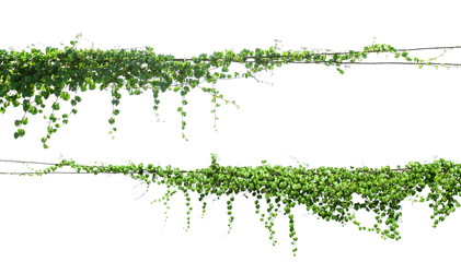 green Ivy plants hanging on electrical wires isolate white background