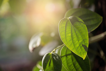 green leaf nature background with bokeh, tropical leaf.