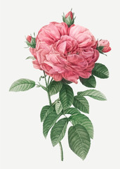 Giant french rose