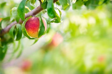 Wall Mural - Peach fruit tree