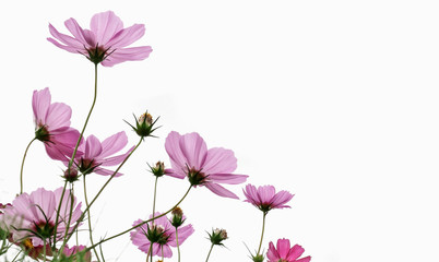 Wall Mural - Cosmos flower on white