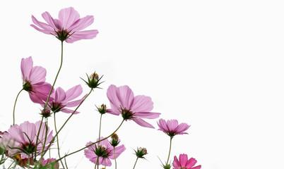 Fototapete - Cosmos flower on white