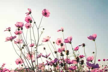 Fototapete - Vintage cosmos flower.