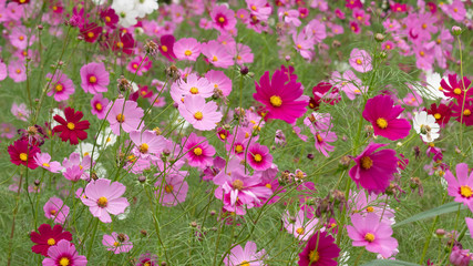 Wall Mural - Colorful cosmos flower in the field.