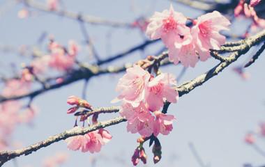 Wall Mural - Sakura flower or cherry blossom on blue sky.