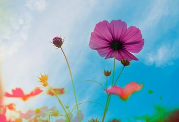 Fototapete - Vintage cosmos flower