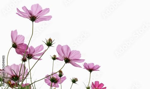 Wall mural Cosmos flower on white