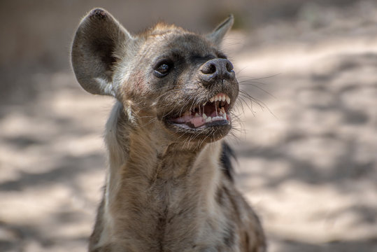 Spotted Hyena in nature, Portrait,close up.