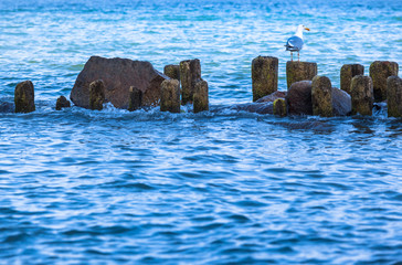 Seabird at Row of Groin and Rocks / Seagull lookout at wooden pillar of old weathered breakwater, baltic sea, Rügen island, Germany (copy space)