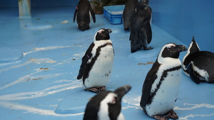 ケープペンギンの日常