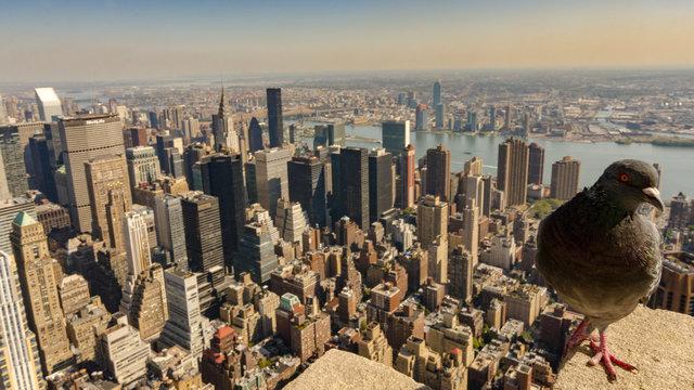 nyc pigeon on a ledge , new york city