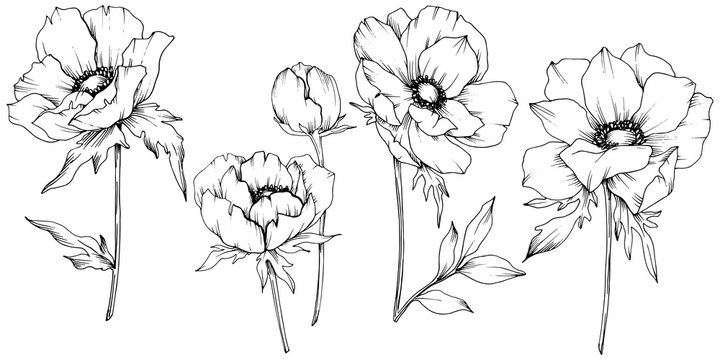 Vector Anemone floral botanical flowers. Black and white engraved ink art. Isolated anemone illustration element.