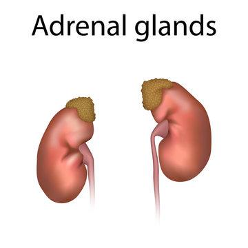 Adrenal glands. Kidneys, ureters. Realistic anatomy vector illustration.