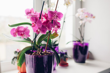 Spoed Foto op Canvas Orchidee Purple orchid on windowsill. Home plants care.
