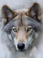 A lone Timber wolf Canis lupus portrait closeup in fall in Canada