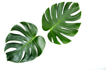 Monstera leaves On White background