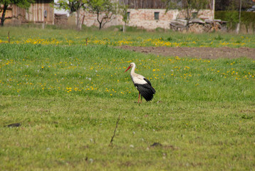 A stork in spring on a wildflower meadow, Spree forest - Germany