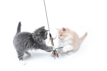 two maine coon kittens playing with cat toy in front of white background