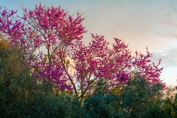 Blooming redbud tree at sunset
