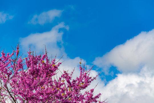 Blooming redbud  tree under the blue sky