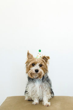 Yorkie sitting on a footstool with party hat on her head.