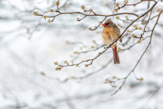 One female northern cardinal Cardinalis bird perched on tree branch during winter snow in northern Virginia with red beak