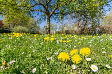 Idyllische Blumenwiese mit Löwenzahn und Gänseblümchen im Frühling