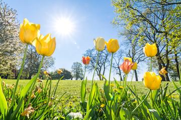 Tulpen auf grüner Wiese im Frühling im Sonnenlicht