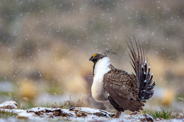 Male Great Sage Grouse, Centrocercus urophasianus, performing mating display on a breeding ground with light snow in the background.