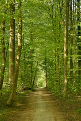 Keuken foto achterwand Weg in bos Chemin traversant une forêt de hêtres jeunes au printemps au parc de Tervuren à l'est de Bruxelles