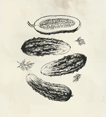 Vintage ink drawings of cucumber vegetable and dill plant, little pickles set