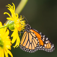 Monarch butterfly on yellow wildflower in Theodore Wirth Park in Minneapolis, Minnesota