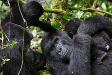 Mountain gorilla family with baby gorilla