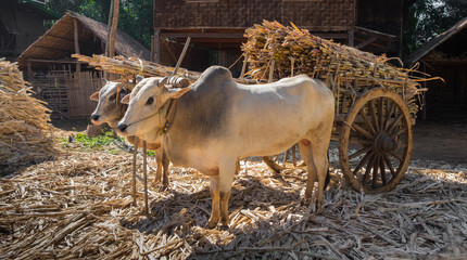 Cows pulling cart of bamboo