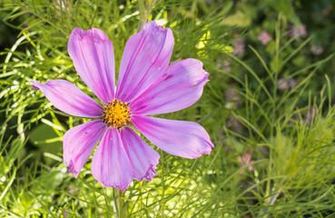 flower Cosmos bipinnatus