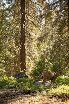 A deer standing in the forest of Kings Canyon National Park.