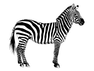 African striped Zebra hand-drawn full-length ink