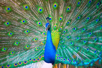 Portrait of beautiful peacock with it feathers out