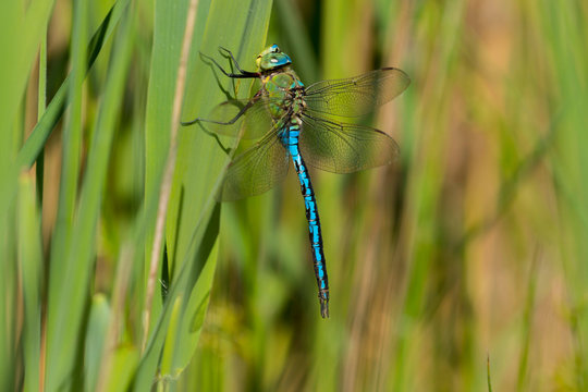 Emperor (Anax imperator) dragonfly perched on a reed in the summer sunshine.  Taken at Forest Farm Nature Reserve, Cardiff, South Wales, UK