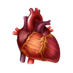 Vector red healthy human heart with arteries close up front view isolated on background