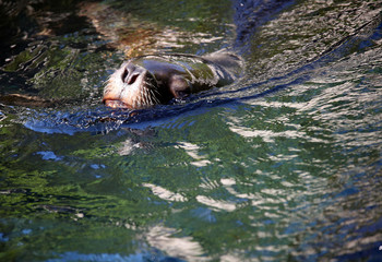 A south American sea lion swims in his enclosure while enjoying the sun at the Hellabrunn zoo in Munich