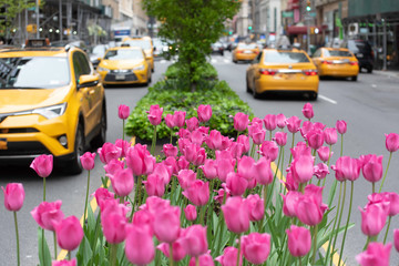 Zelfklevend Fotobehang New York TAXI Pink tulips in bloom along Park Avenue in Manhattan.