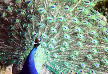 A peacock displays his plumage as part of a courtship ritual to attract a mate during a sunny day at the Hellabrunn zoo in Munich