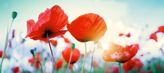 Foto op Canvas Poppy Wild poppy flowers on blue sky background.