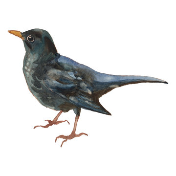 The common blackbird. Watercolor hand painted drawing of bird.