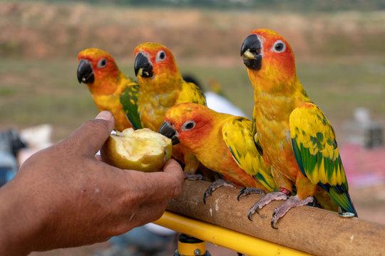 little parrot eating apple