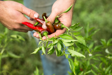 Male farmer hands holding peppers